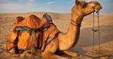 Учёные обнаружили новые механизмы экономии воды верблюдами